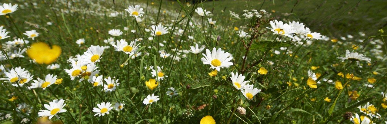 Blumen auf einer Allgäuer Bergwiese