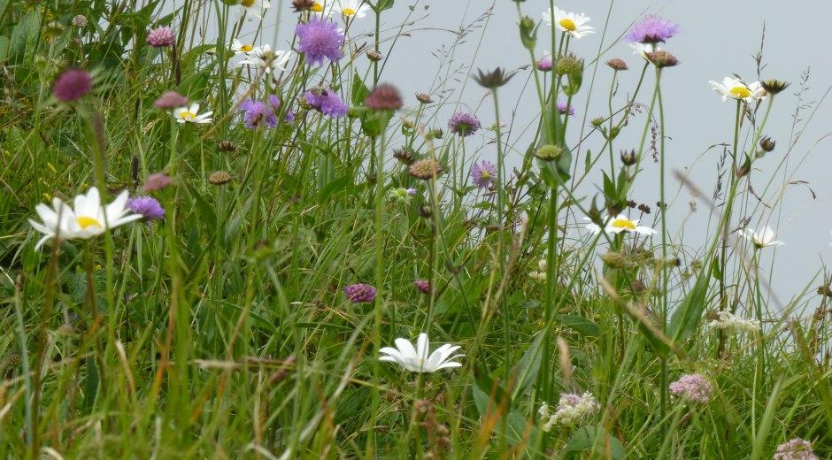 Hübsche Blumenwiese am Hochgrat im Oberallgäu im Allgäu
