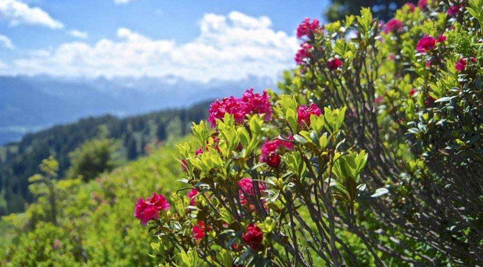 Alpenrosenblüte am Rangiswanger Horn © Tourismus Hörnerdörfer
