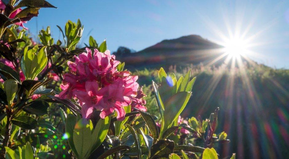 Alpenrose © Tourismus Hoernerdoerfer GmbH_@Kappest