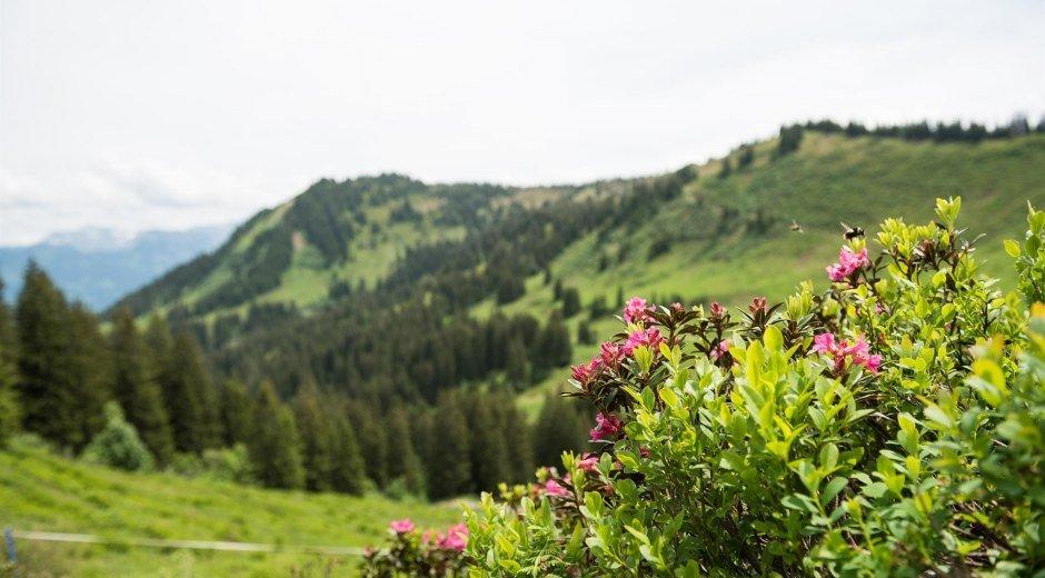 Mit etwas Glück sieht man die Alpenrosen blühen © Tourismus Hörnerdörfer - F. Kjer