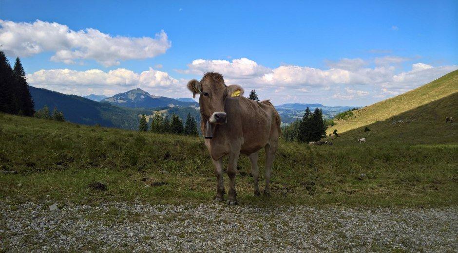 Kuh am Wanderweg in den Allgäuer Bergen